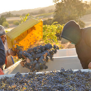 A box of grapes being tossed into a truck during a harvest